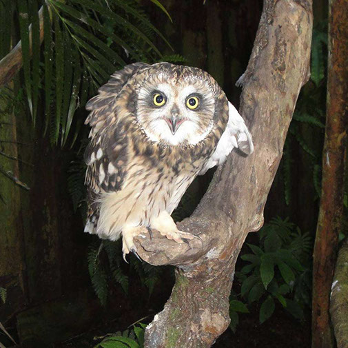 Pueo, Native Hawaiian Short-Eared Owl